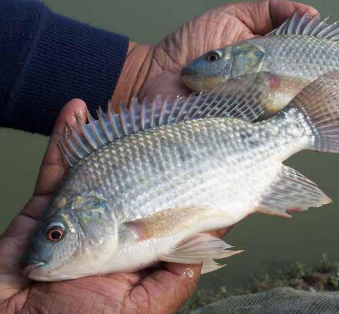Donare un pesce? No, meglio imparare ad allevarli