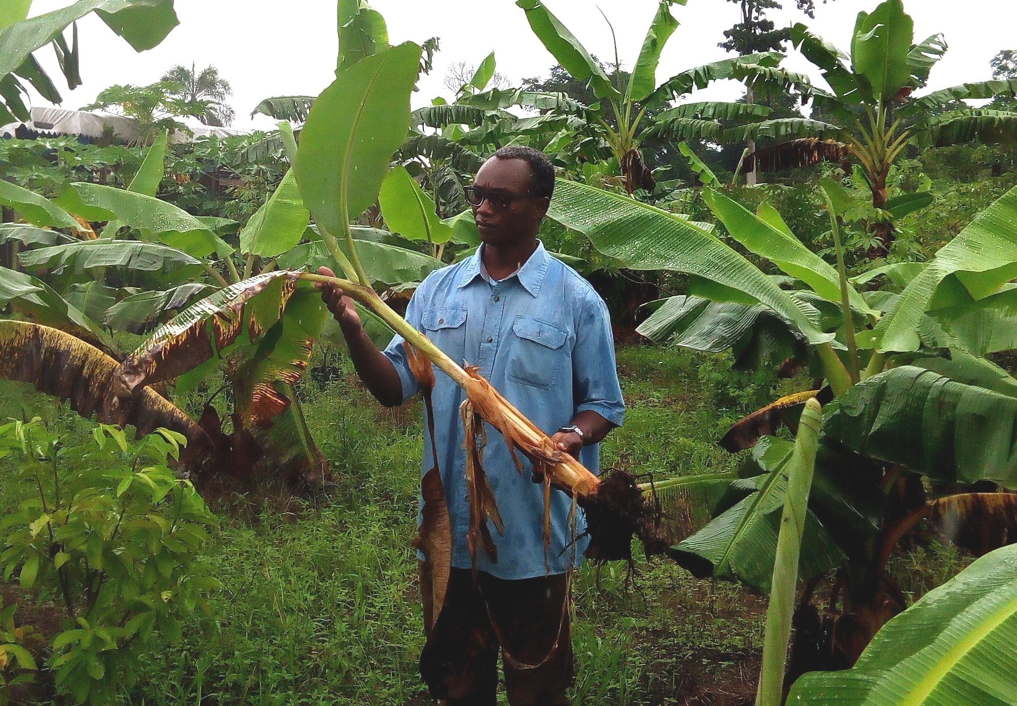 A Douala si impara a piantare banani