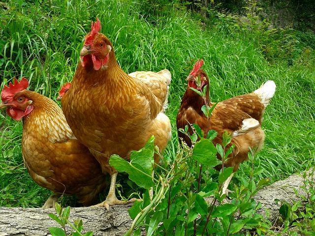 Allevamento polli a Bertoua